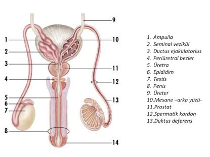 Erkekte Üreme Sistemi ve İnfertilite